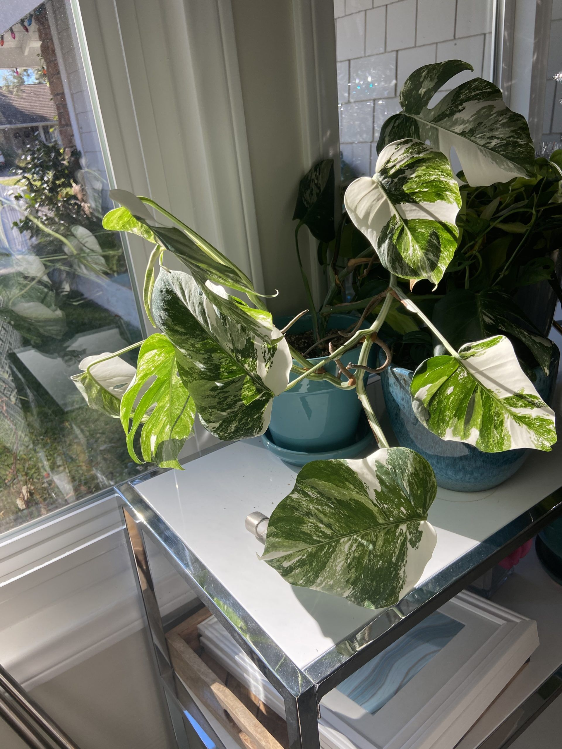 Monstera Without Moss Pole