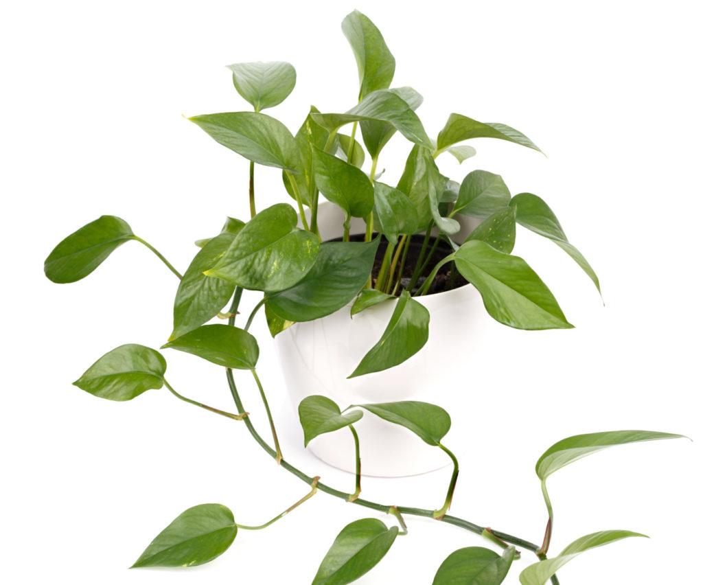 The Best Fertilizer for Pothos Plants