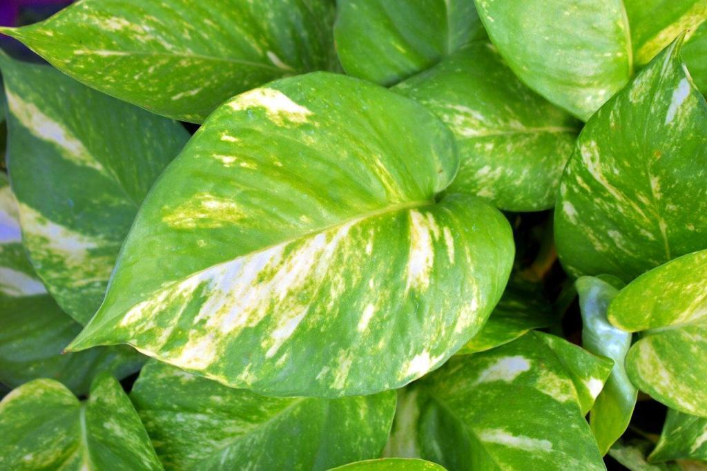 How Should You Water Pothos Plants?