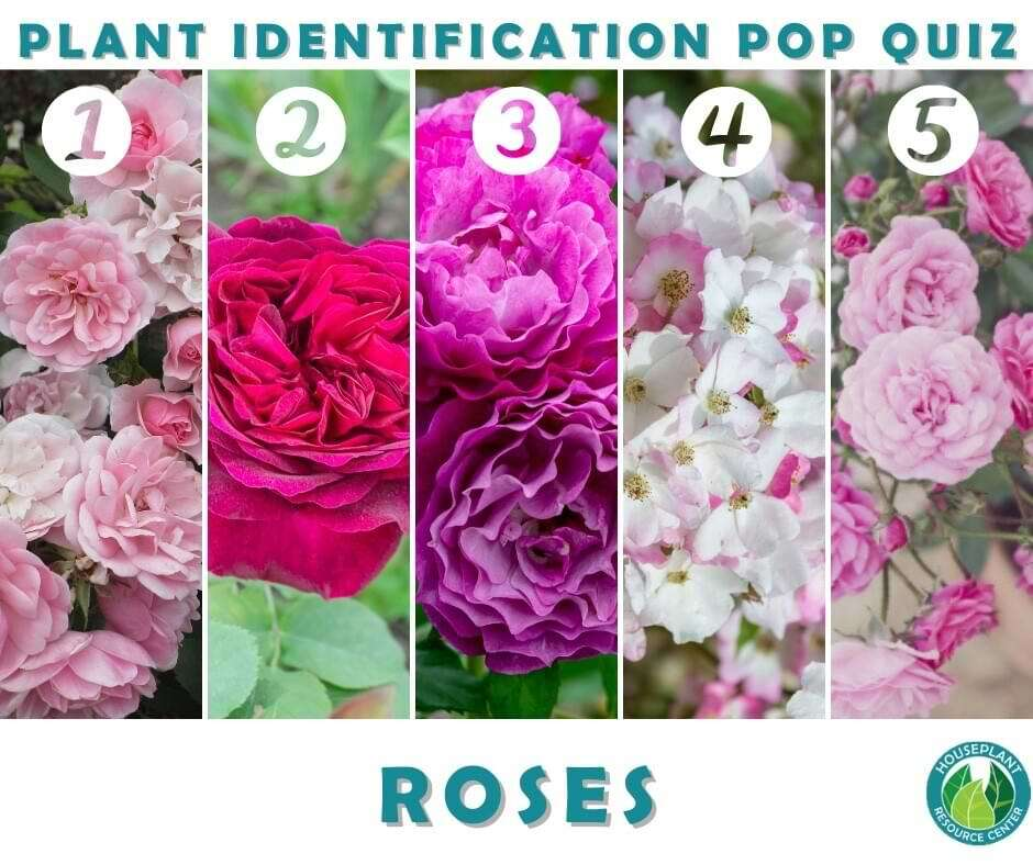 Rose identification