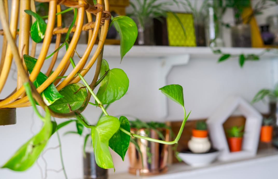 What's Wrong With My Pothos Plant? Your Pothos Troubleshooting Guide