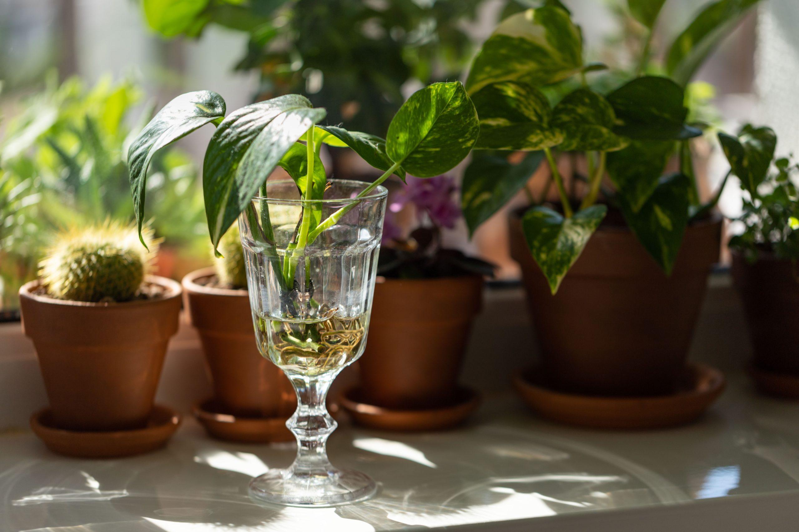 How often should you fertilize a pothos plant