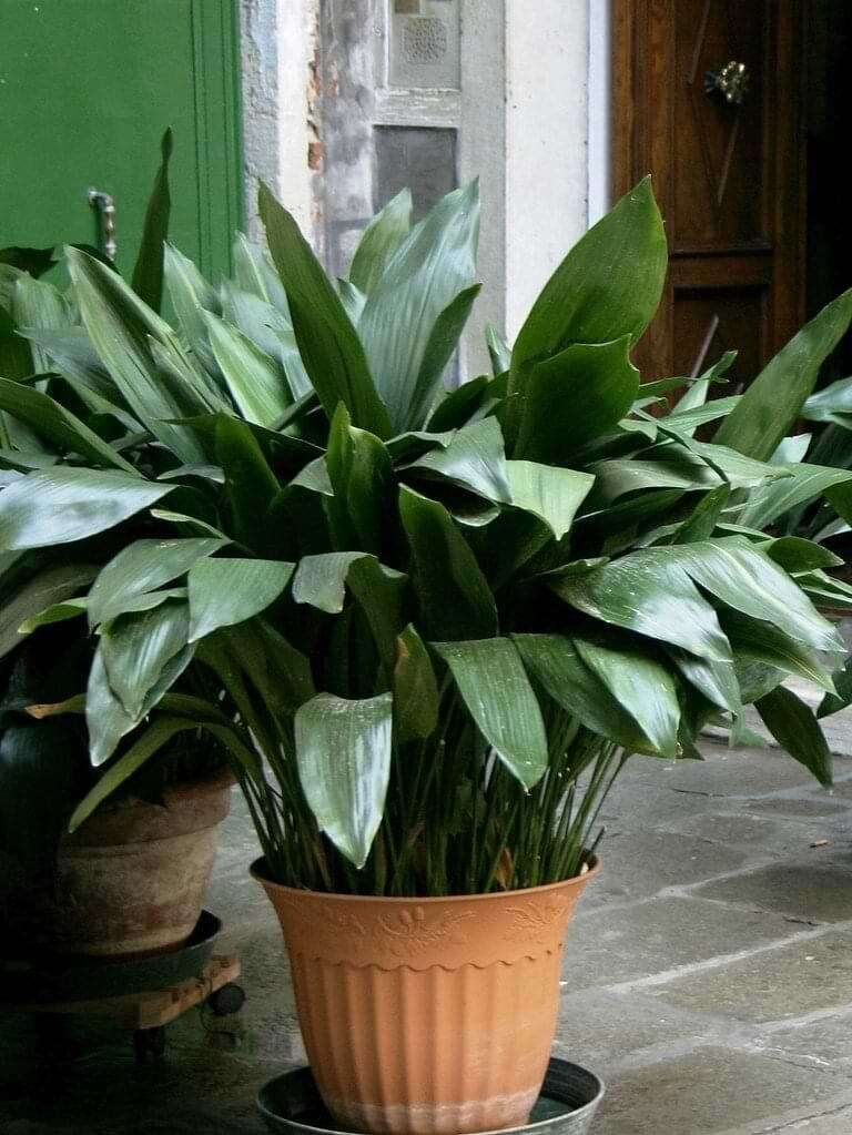 The Beginner's Guide to Cast Iron Plant Care