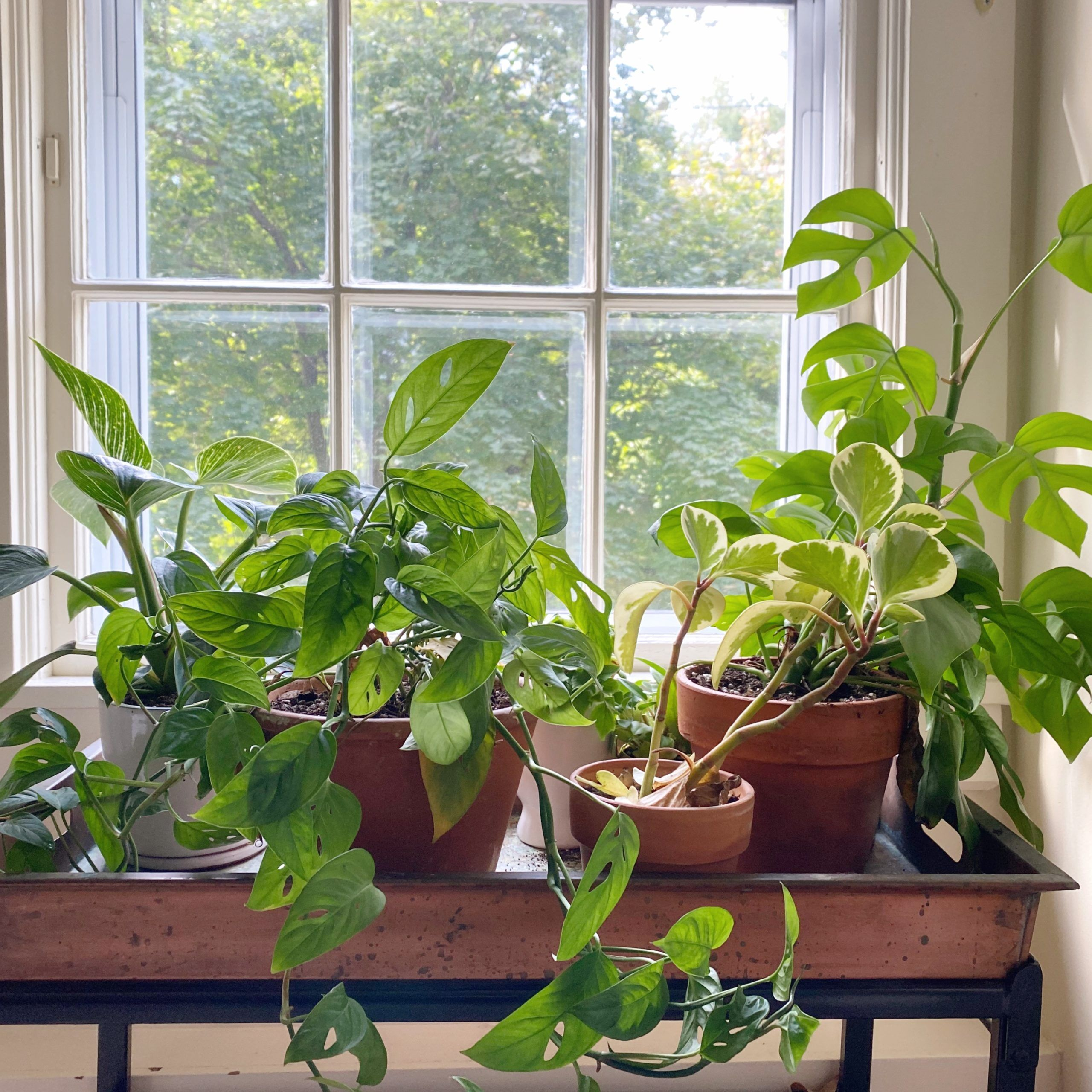 How and When to Repot Your Pothos Plant