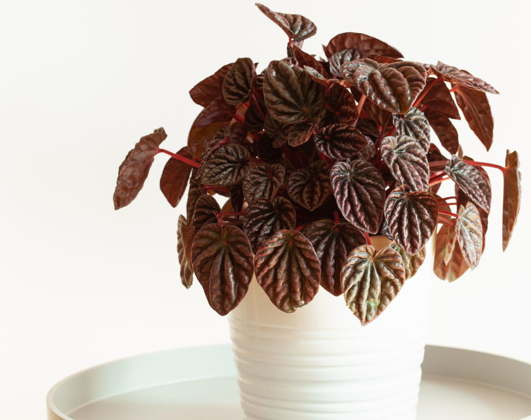 The Ultimate Guide to Peperomia Varieties