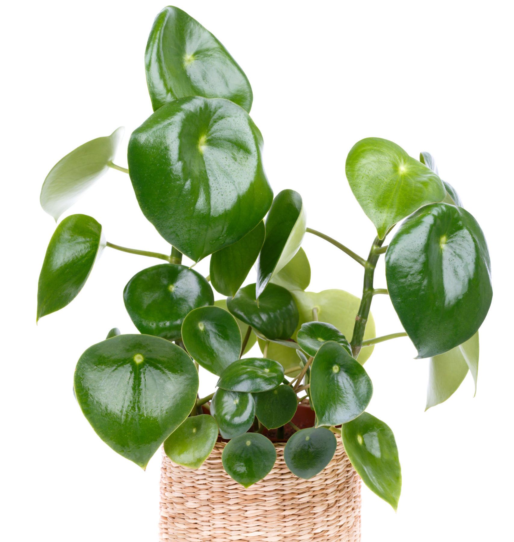 The Best Fertilizer for Peperomia Plants