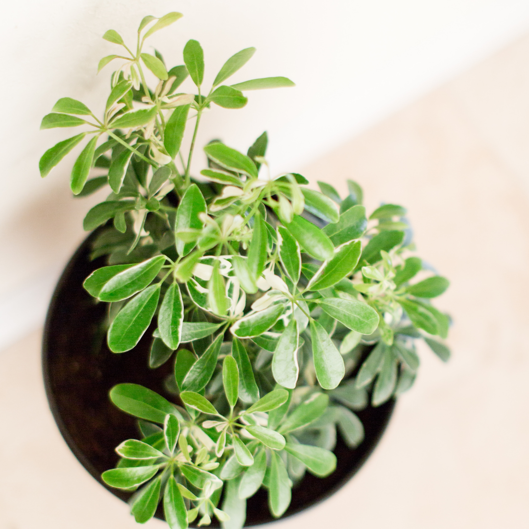 These plants are also known for being fairly easygoing. Read schefflera care tips. Umbrella trees make great beginner plants!