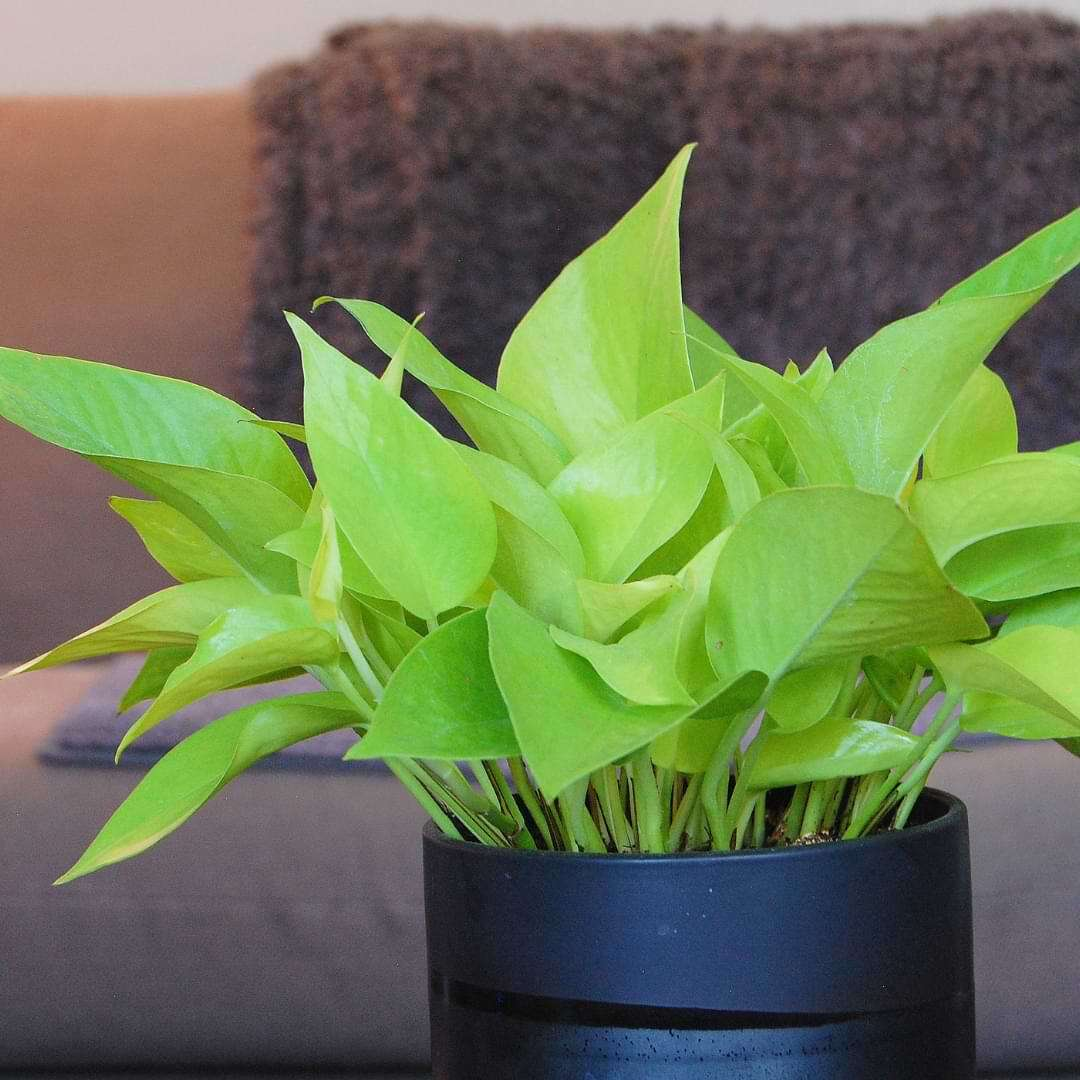 Neon pothos plant care is very easy. It is an eye-catching plant that will brighten up your space without a lot of work!