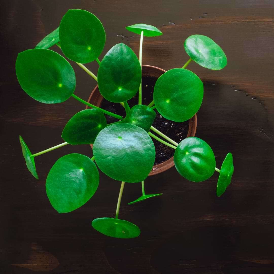 Pilea plant care is actually pretty straightforward. The best part is that pilea plant care is actually really easy!
