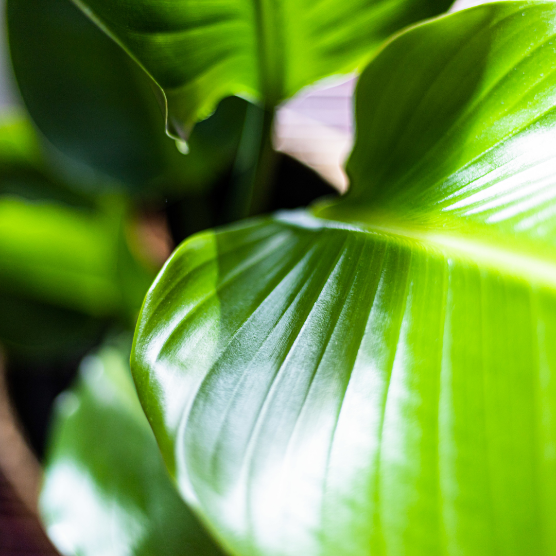 how to properly clean your plant's leaves and how to make plant leaves shiny and glossy with Leaf Shine, our gentle, easy-to-use cleansing and fortifying spray.